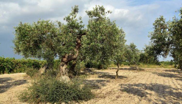 كيفية تقليم شجرة الزيتون