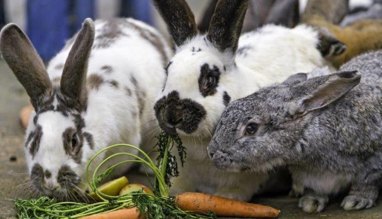 ماذا يأكل الأرنب ؟