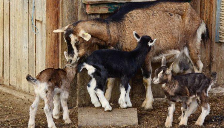 مشاكل تربية الماعز