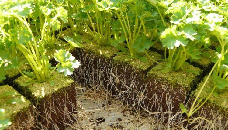 موعد زراعة البقدونس