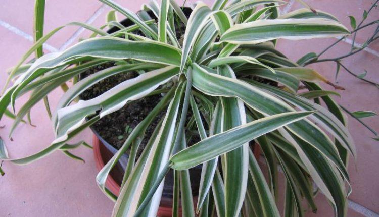 نبات الفلانجيوم: زراعته ، العناية به