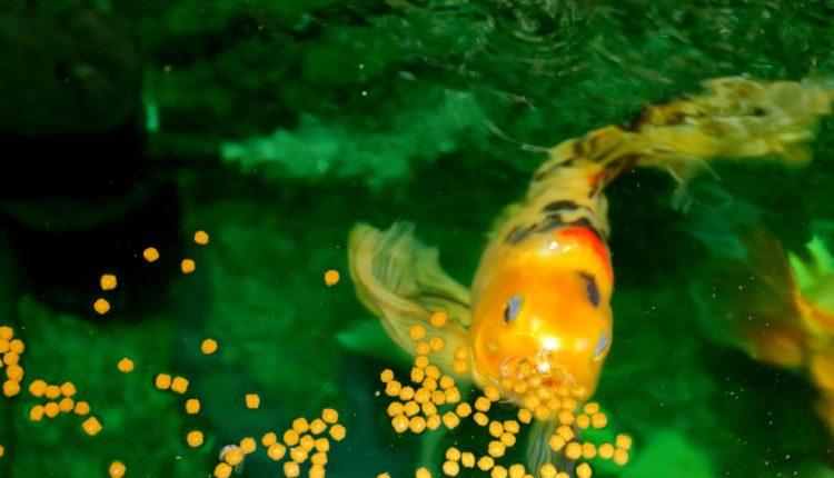 ماذا ياكل سمك الزينة من البيت