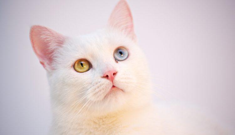 أنواع القطط التركية