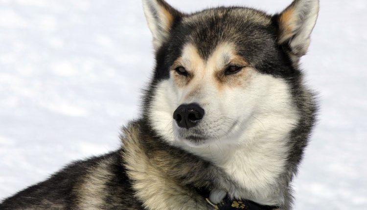 هل كلاب الهاسكي شرسة