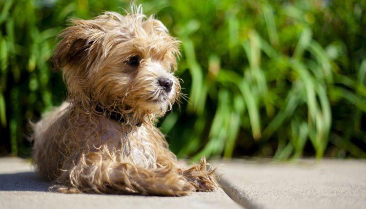 كلب مالتيبو