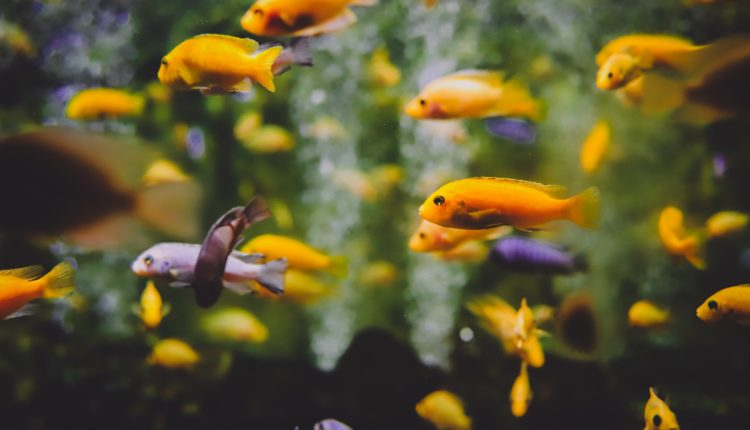أنواع أسماك الزينة التي تعيش مع بعضها