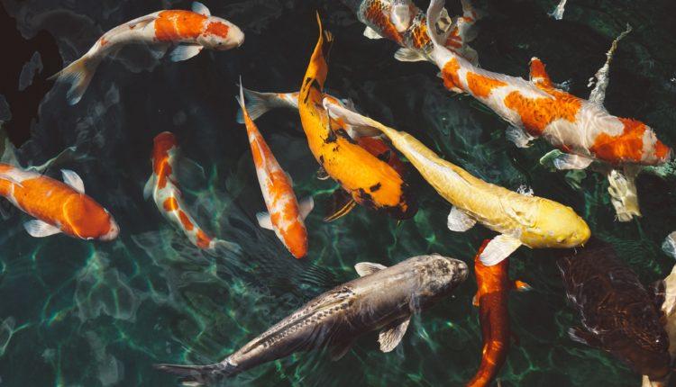 أنواع أسماك الزينة المسالمة