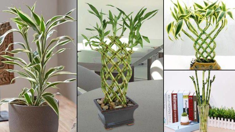 أنواع ونماذج نبات البامبو