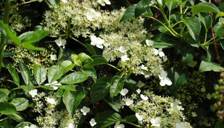 كيف نختار أفضل نباتات الظل المتسلقة