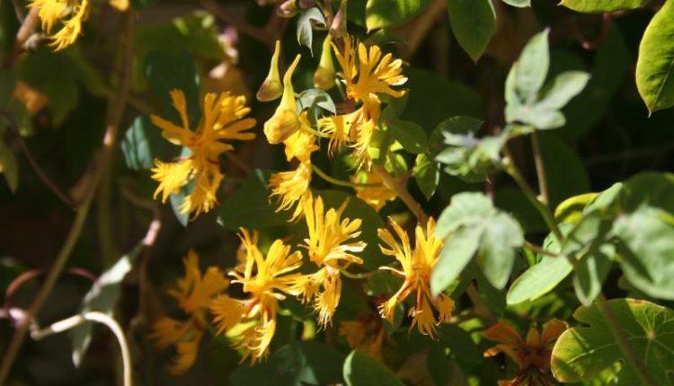 نبات الكنارية المتسلقة : زراعته ، متطلباته