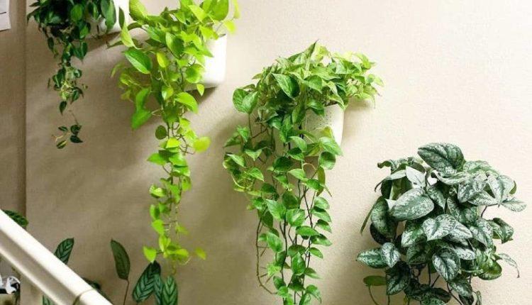 كيفية اختيار نبات متسلق داخلي