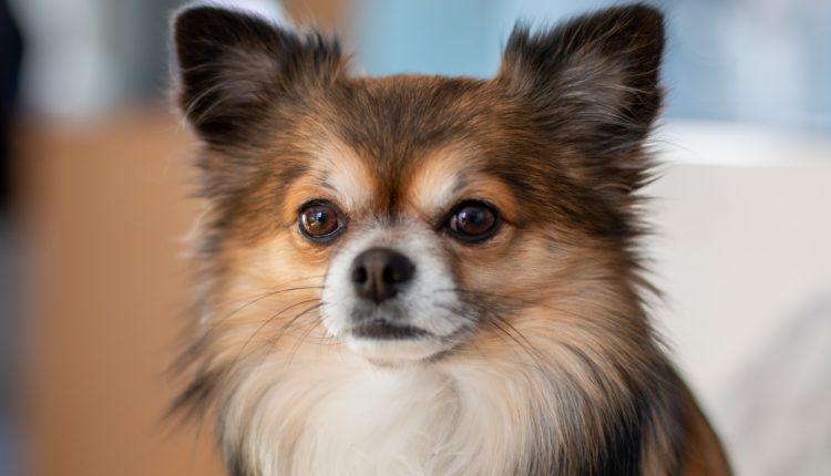 انواع كلاب الشيواوا