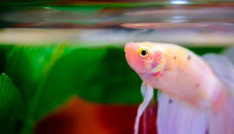 ماذا يأكل سمك الفايتر